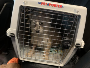 dog in crate in car